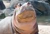 Say whatever you like...I have thick skin! (brian.pipe) Tags: nikon d500 80 400 afs nile hippopotamus hippo dallas zoo texas tx