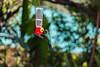 IMG_5959-2 (jaglazier) Tags: 121417 2017 alambi andes animals blue copyright2017jamesaglazier december ecotourism ecuador pichincha quito reservaalambi birds cloudforest green hummingbirds iridescent distritometropolitanodequito
