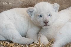 DSC_0950-1 (Linda Smit Wildlife Impressions) Tags: african white lion lioness lioncubs cubs wildlife endangered cats bigcats nature animal carnivore cecil photography nikon d750 big cat mammal zoo damnéville amnéville