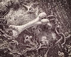 Bones in Desert Flat Lay 5347 C (jim.choate59) Tags: bones cactus dead monochrome bw blackandwhite desert mojavedesert jchoate texture d610