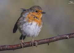 "Robin (Mick Erwin) Tags: robin nikon afs 600mm f4e fl ed vr lens d850 ""mick erwin"" stoke trent staffordshire wildlife nature ""nikon d850"""