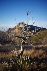 Scraggly Tree & Emory Peak