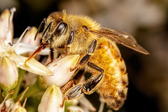 Feeding Honeybee (Dalantech) Tags: macro insect bee honeybee feeding flowers pollen