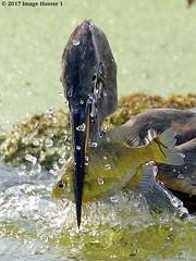 Breakfast (Image Hunter 1) Tags: greatblueheron feeding water splash bluegill lakemartin louisiana swamp droplets fish bird nature wildlife