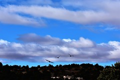 Flight path (thomasgorman1) Tags: birds nikon view hills outdoors nature flying flight wings nm landscape houses bluesky cloudy trees clouds
