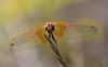 Dragonfly sp. Trithemis kirbyi - Crocothemis erythraea ? (festoon1) Tags: dragonfly odonata madagascar
