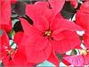 Pointsettia Plant .. (** Janets Photos **) Tags: uk flowers flora plants pointsettiaplants macro closeups