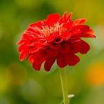 Gorgeous Red thumbnail