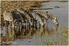 Thirsty at Sunrise! (MAC's Wild Pixels) Tags: thirstyatsunrise zebra thirsty quenchingthirst herd herbivore drinkingwater animal wildlife mammal africanwildlife wildafrica wildanimal safari gamedrive equusquagga nagolomondam nairobinationalpark nairobi kenya macswildpixels stripes outdoors outofafrica sunrise goldenhour goldenlight water dam ngc npc fabuleuse
