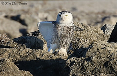 Yoga on the Rocks (NatureKim) Tags: bird maumeebay buboscandiacus snowyowl toledo ohio predator owl