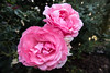 Roses (LachMH) Tags: canon 700d rebel t5i 1855mm lens diopter macro zoom nature garden rose pink flower petal