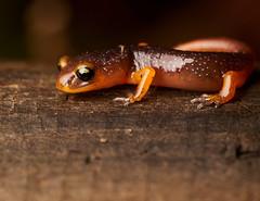 (Tony P Iwane) Tags: ensatinaeschscholtzii ensatina ensatinaeschscholtziixanthoptica ebrpd ebrpdok baynature redwoodregionalpark alamedacounty macro oakland california unitedstates salamander