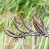 Phormium tenax (SUBENUIX) Tags: phormiumtenax suculentas xanthorrhoeaceae subenuix subenuixcom planta suculent suculenta botanic botanical