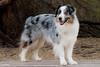 Happy boy (Jasper's Human) Tags: aussie australianshepherd dog