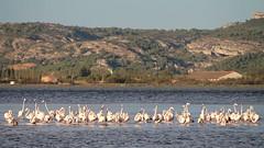 Flamingos (Thomas Schirmann) Tags: bages flamantsroses flamingos étang étangdebages eau