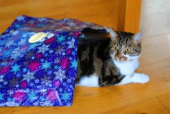 Brian wrapping himself for Christmas (zawtowers) Tags: brian cat kitty cute feline adorable christmas december 2017 relaxed content happy festive afsnikkor50mmf18g 50mm fifty playing wrapping paper blue tunnel walking through peeking out