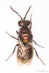 Hedychridium ardens (Olli_Pihlajamaa) Tags: animalia apocrita arthropoda chrysididae chrysidoidea hedychridium hedychridiumardens hexapoda hymenoptera insecta invertebrata eläinkunta hoikkatyviset hyönteiset kultapistiäiset kultapistiäismäiset kuusijalkaiset niveljalkaiset pistiäiset selkärangattomat vaskihietakultiainen