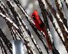 Natural Protection -- Northern Cardinal, Male (Cardinalis cardinalis); Catalina, AZ [Lou Feltz] (deserttoad) Tags: bird wildbird songbird desert arizona cardinal nature wildlife shrub behavior ocotillo fauna