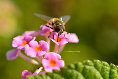 Honeybee and flower DSC_0389 (richardsscenery) Tags: honey honeybee flower bee hike wildlife macro plant insect nikon camera photography close up bug eyes pollen
