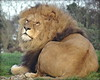 "Ares ❤ (LadyRaptor) Tags: yorkshirewildlifepark yorkshire wildlife park doncaster ywp nature outdoors winter laying sitting bask basking sleepy rest resting tired nap relaxing looking watching gazing grass sunbathing asleep sleep sleeping trees majestic cute animal animals predator carnivore feline felines felidae cat cats bigcats lion lions male males mane africanlion panthera leo ""into africa"" lioncountry pride"