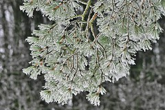 frosted pine (EllaH52) Tags: tree pine branches winter frost grey