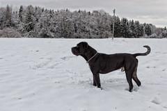 Cane Corso (Sa Scha LC) Tags: canecorso canon700d canon tamron tiere hund tamronsp35 italianmastiff bigdog badenwürttemberg badwaldsee blackdog groserhund schwarzerhund süddeutschland schnee steinach steinacherried oberschwaben haustier aufpasser