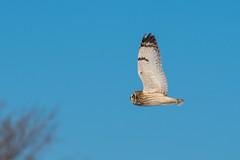 Hibou Des Marais / Short-Eared Owl (ALLAN .JR) Tags: hiboudesmarais shortearedowl asioflammeus nature wildlife oiseau bird sthubert nikon ciel sky hiver winter