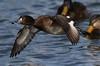 Tufted Duck (F) (kearneyjoe) Tags: tufted duck