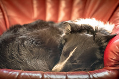 Day's End Paddy (JJFET) Tags: border collie dog sheepdog