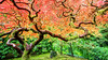Changing Seasons (Tim Miley) Tags: nature places portland tea garden fall seasons red green autumn pdx