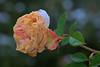 Münster 20171209 01 (Dirk Buse) Tags: münster nordrheinwestfalen deutschland deu nrw rose welk schnee kalt kälte botanischer garten universität uni natur nature olympus omd em1ii zuiko pro m43 mft 40150 4015028