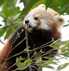 red panda Blijdorp BB2A1121 (j.a.kok) Tags: panda redpanda rodepanda kleinepanda china asia azie animal blijdorp mammal zoogdier dier