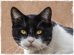 GATO (BLAMANTI) Tags: gatos felinos mascotas uñas canon canonpowershotsx60 blamanti ojos 2017 2018