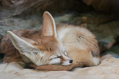 Fennec fox (Paul Wrights Reserved) Tags: colchesterzoo zoo colchester fox foxy cute animal napping sleeping resting lazy longears ears fennecfox fur furry mammal nose closedeyes
