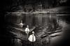 Three Swans A Swimming (Stephen Reed) Tags: blackwhite pond surrey clandon winter swimming birds lightroomcc silverefexpro2 nikon d7000