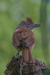 Barred Antshrike 171224 Asa Wright Centre -1 (tjhurley) Tags: asawrightnaturecentre barredantshrike birds flickr latinamerica perchingbirds thamnophilusdoliatus trinidad