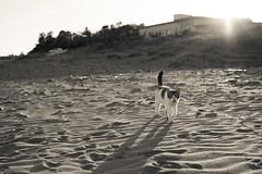猫 (fumi*23) Tags: ilce7rm3 cat gato 50mm sigma50mmf14exdghsm ねこ 猫 シグマ ソニー 砂浜 beach coast katze a7rⅲ bw