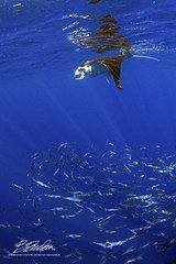 Food for all (bodiver) Tags: hawaii wideangle ambientlight fins freediving fish schools manta mantaray rays blue ocean nature reflection