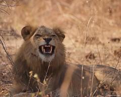 IMGP5989 Smiling Lion (Claudio e Lucia Images around the world) Tags: lion leone zambia southluangwa chamilandu bushcompany savana carnivore bigcat tooth teeth sigma sigma150500 pentax pentaxk3ii africa safari africansafari
