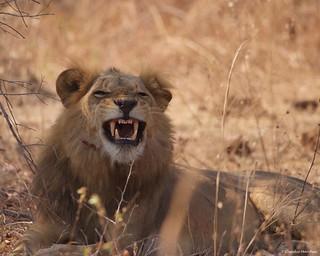 IMGP5989 Smiling Lion