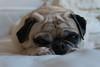 Layla Bean (joeygaskell) Tags: pug pugs dog dogs indoor photography photo doggos sony a6300 sonya6300