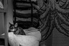 7 Day Black & White Challenge (Katherine Ridgley) Tags: toronto blackwhite blackandwhite monochrome bathroom curtain shower showercurtain towel towelrack cat pet purebred purebreed purebredcat abyssinian abyssiniancat domesticcat felissilvestriscatus felissilvestris feliscatus felis felidae feliformia carnivore carnivora mammal mammalia animal animalia