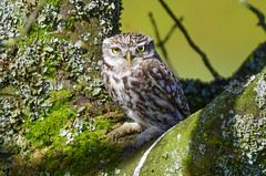 Little Owl 3 (Terry Angus) Tags: owl little rochdale bird predator birdofprey owls wildlife