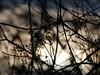 P1090425 (Martin J. Errington) Tags: plants plant plantlife entangled low winter sun clouds