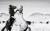 Wild Horses (Jami Bollschweiler Photography) Tags: wild horse stallions onaqui herd utah wildlife photography image silly funny fighting hair black white sepia mare filly foal eclipse