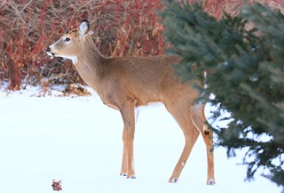 white-tailed deer buck at Lake Meyer Park IA 854A5446
