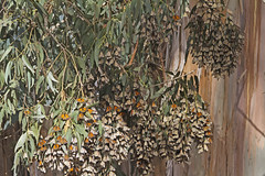 Monarch Butterflies in Pismo Beach 2018 (grandmasandy+chuck) Tags: insects butterflies monarchbutterflies pismobeach butterflygrove