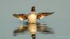 Common Goldeneye (f) (Bob Gunderson) Tags: alamedacounty arrowheadmarsh birds bucephalaclangula california commongoldeneye divingducks ducks eastbay northerncalifornia seaducks