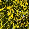 Golden: mistletoe, Shottery (Dave_A_2007) Tags: berry flower fruit mistletoe nature plant stratforduponavon warwickshire england