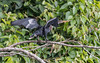 Anhinga (tickspics ) Tags: amazonbasin birds manú peru cochasalvador southamerica anhinga anhingaanhinga anhingidae manúbiospherereserve manúnationalpark tropicalrainforest